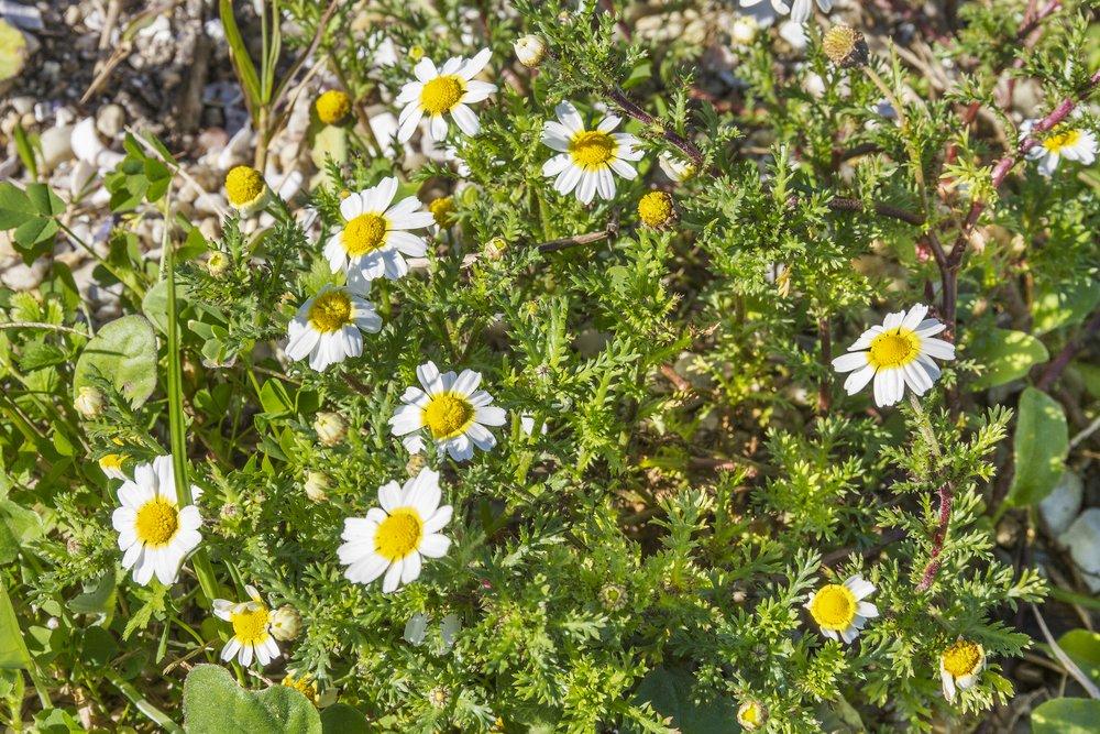 Photo of Anthemis: una varietà di perenni dai fiorellini simili a margherite per decorare il giardino