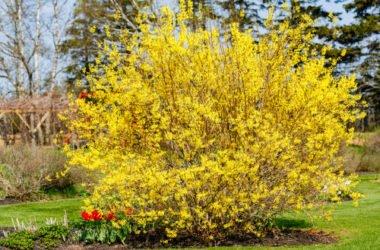 Tutto sulla forsizia, il fiore che annuncia la primavera