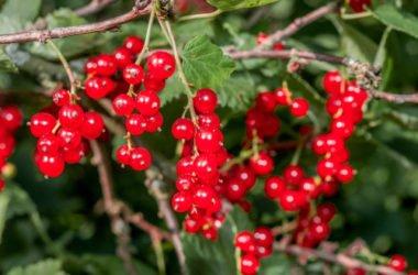 Quello che devi sapere sul ribes rosso, una pianta apprezzata da sempre per le sue proprietà benefiche
