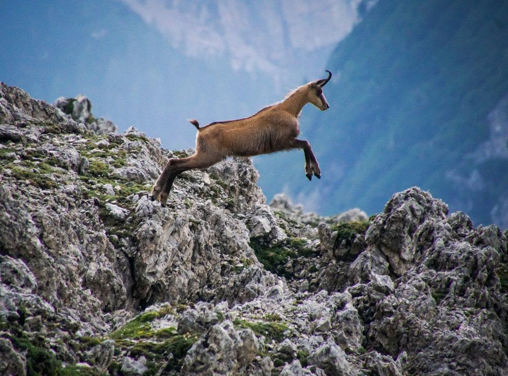 Photo of I segreti del camoscio, uno stupendo animale di montagna tutto da scoprire
