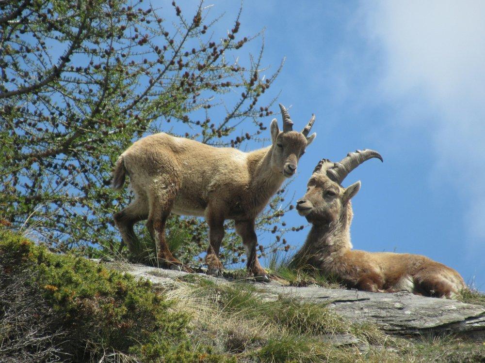 Photo of Stambecco: tutto su questo animale simbolo delle Alpi