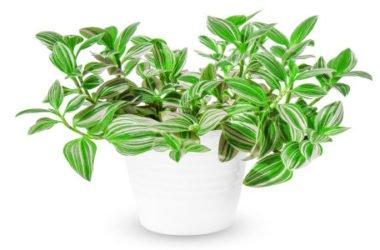 Erba miseria: una pianta che non teme nulla, nemmeno l'incuria