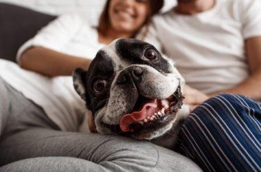 Le cose da sapere sul cane Carlino, un cane di piccola taglia molto amato sin dall'antichità