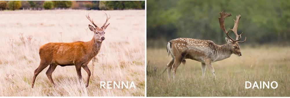Photo of Scopriamo tutto sul daino, un mammifero simile al cervo, ma dalle caratteristiche macchie sui fianchi