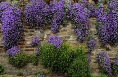 I segreti dell'Aubrezia (o Aubretia), pianta tappezzante ideale per muretti e giardini rocciosi
