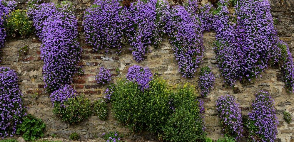 Photo of I segreti dell'Aubrezia (o Aubretia), pianta tappezzante ideale per muretti e giardini rocciosi