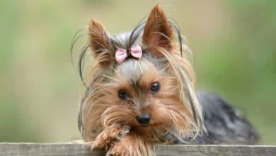 Photo of Tutto sullo Yorkshire Terrier