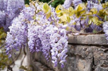 Come coltivare il glicine con successo, sia sul balcone che in giardino o in vaso: la guida pratica