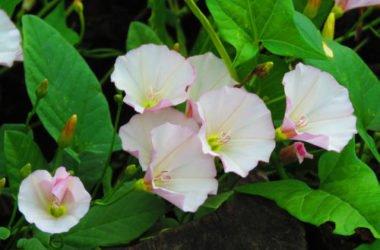 Bella di giorno o convolvolo: coltivazione e cura di questa pianta rampicante