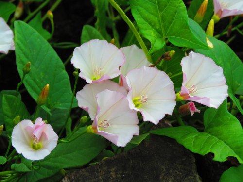 Photo of Bella di giorno o convolvolo: coltivazione e cura di questa pianta rampicante