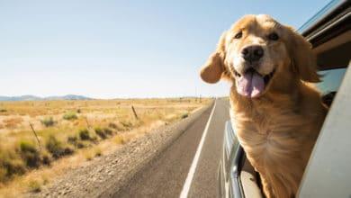 Photo of Il Golden Retriever è uno dei cani più popolari al mondo, amatissimo dai bambini e non solo