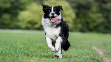 Photo of Tutto sul Border collie