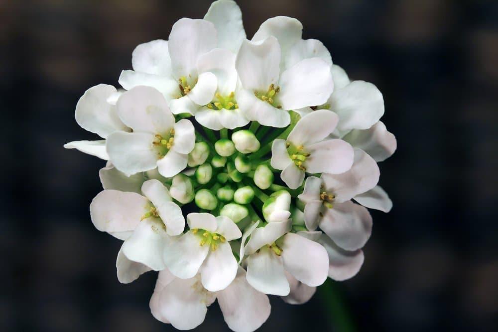 Photo of Iberis sempervirens pianta dai fiori delicati molto resistente al freddo