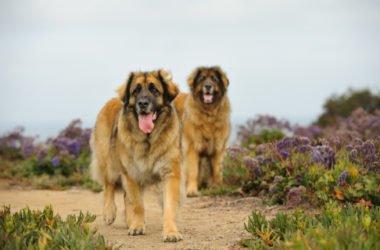 Tutto sul Leonberger: un gigante buono, calmo e docile come pochi altri cani