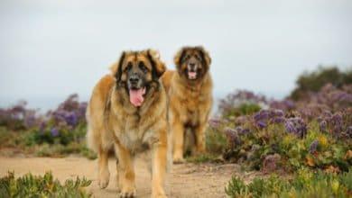 Photo of Tutto sul Leonberger: un gigante buono, calmo e docile come pochi altri cani