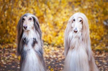 Levriero afgano: i segreti di un cane apprezzato per la sua bellezza elegante