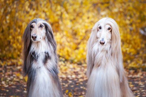 Photo of Levriero afgano: i segreti di un cane apprezzato per la sua bellezza elegante