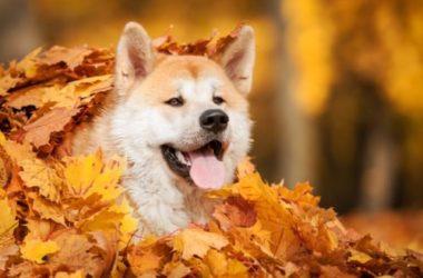 Scopriamo l'Akita Inu, una razza giapponese di cani fedeli, sensibili e intelligenti
