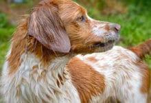 Photo of Tutto sull'Epagneul Breton, una razza di cani straordinariamente vivace e intelligente