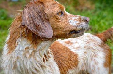 Tutto sull'Epagneul Breton, una razza di cani straordinariamente vivace e intelligente