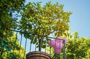 La guida pratica per coltivare una pianta di limone con successo