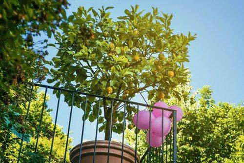 Photo of La guida pratica per coltivare una pianta di limone con successo