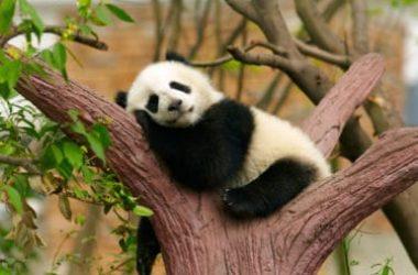Tutto sul panda, l'animale simbolo del WWF e degli animali a rischio d'estinzione