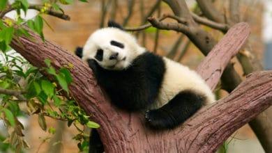 Photo of Tutto sul panda, l'animale simbolo del WWF e degli animali a rischio d'estinzione