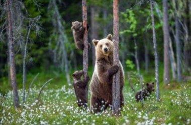 Orso: scopriamo il comportamento di un grande mammifero a rischio estinzione