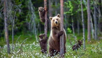 Photo of Orso: scopriamo il comportamento di un grande mammifero a rischio estinzione