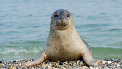 Photo of Come vive la foca, grande mammifero marino a rischio di estinzione