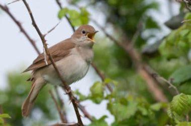 L'usignolo: chi è e come vive il piccolo uccello canterino