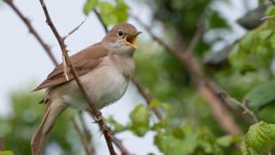 Photo of L'usignolo: chi è e come vive il piccolo uccello canterino