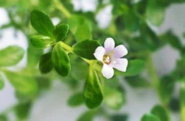 Bacopa Monnieri o issopo d'acqua: una pianta importante nella tradizione della medicina ayurvedica