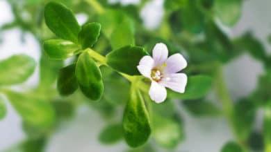 Photo of Bacopa Monnieri o issopo d'acqua: una pianta importante nella tradizione della medicina ayurvedica