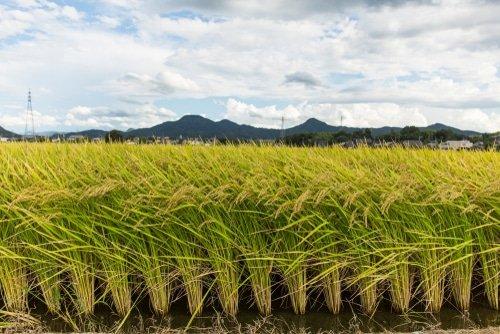 riso piantagione