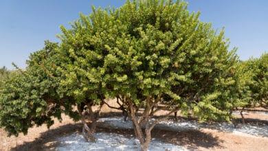 Photo of Tutto sul lentisco, conosciuto anche come l'albero del mastice