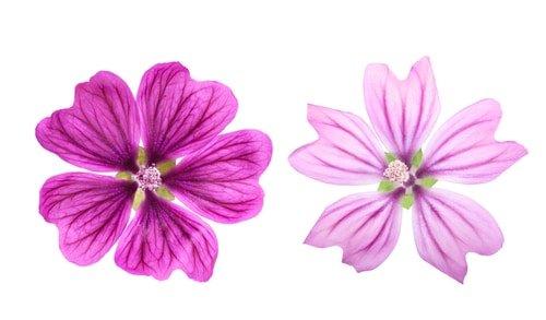 fiore della malva