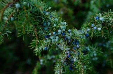 Tutto sul ginepro: varietà, caratteristiche e coltivazione della pianta