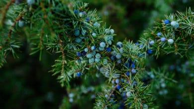 Photo of Tutto sul ginepro: varietà, caratteristiche e coltivazione della pianta