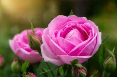 Le straordinarie proprietà della rosa damascena, un alleato della bellezza al naturale
