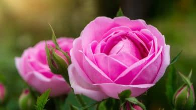 Photo of Le straordinarie proprietà della rosa damascena, un alleato della bellezza al naturale