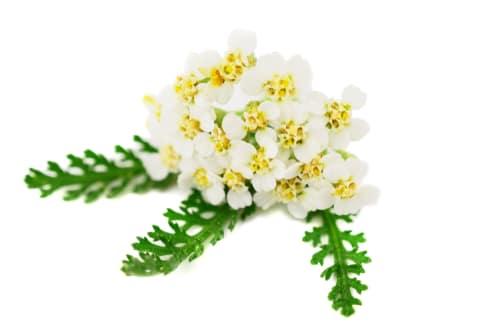fiori di achillea