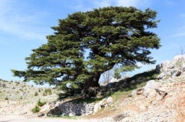 Caratteristiche e proprietà del cedro del Libano, un albero leggendario