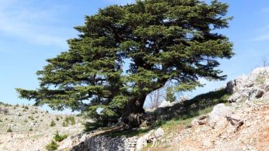 Photo of Caratteristiche e proprietà del cedro del Libano, un albero leggendario