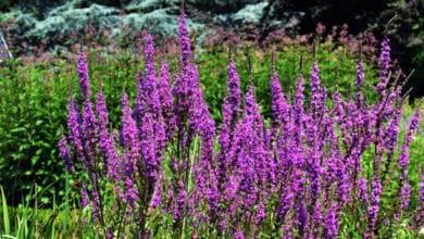 Photo of Alla scoperta della Salcerella, pianta acquatica dai bellissimi fiori rosa intenso
