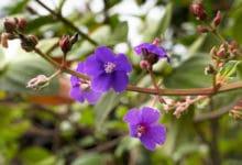 Photo of Specchio di Venere, scopriamo insieme le caratteristiche di questa pianta ormai rara