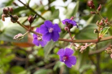 Specchio di Venere, scopriamo insieme le caratteristiche di questa pianta ormai rara