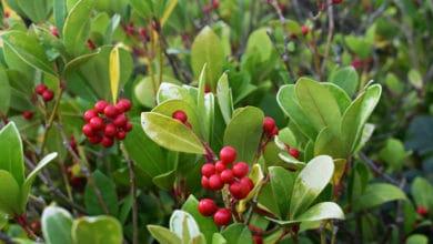 Photo of Tutto sulla Gaultheria, la pianta con le bacche rosse che resiste al freddo