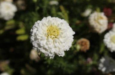 Alla scoperta della Camomilla romana, la pianta che aiuta a dormire, calma i nervi e allevia le infiammazioni